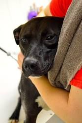 Patience is an adoptable American Staffordshire Terrier Dog in Middletown, OH. Hi, my name is Patience. I'm about 14 months old. I used to live my life tied to a tree because my first owner didn't wan...http://www.petfinder.com/petdetail/26081136