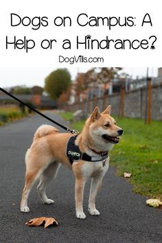 Are dogs on campus at pet-friendly colleges a help or a hindrance? Read on to discover both the pros and cons of allowing students to keep dogs at school. Diy Dog Collar, Dog Collar Tags, Cool Dog Houses, Dog Shop, Dog Facts, Dog Safety, Best Dog Training, Dog Signs, Family Dogs