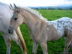 Beautiful Appaloosa foal! Palomino with a spotted blanket!