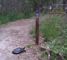 Turtle contemplates hiking trail