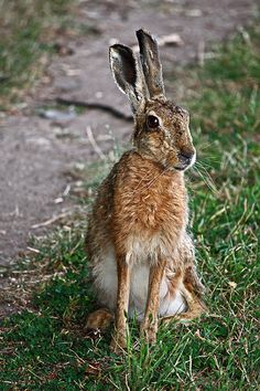 Hare by Draig