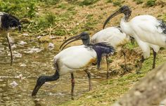 Tout comme notre groupe d'ibis sacrés (threskiornis aethiopicus).
