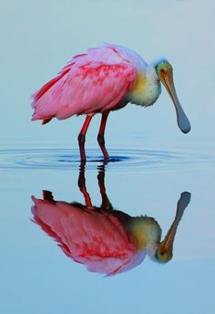 This flamboyant roseate spoonbill — photographed at Ding Darling Wildlife Refuge in Florida — looks like a flamingo crossed with a pelican, am I right?