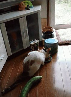 Flying cat vs Cucumber