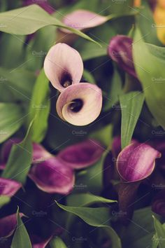 Purple Callas Photos Deep plum and light lavender colored calla lillies. High resolution stock photograph.See more flo by Jessica Torres