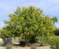 Cascalote Tree - Caesalpina cacalaco Up to 15'x15' at maturity, yellow flower plumes in early winter, thorn-less cultivars available.