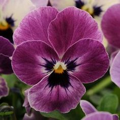 Sorbet Raspberry Viola - Annual Flower Seeds