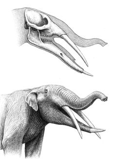 Skull and reconstructed head of the mastodon Gomphotherium angustidens, based on fossils from sites in central Spain