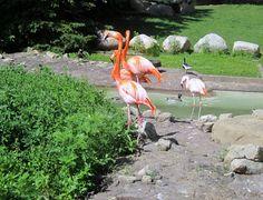 Flamingos at Como Zoo in St. Paul, Minnesota