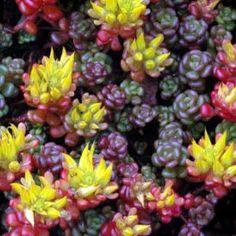 Sedum oreganum flowers