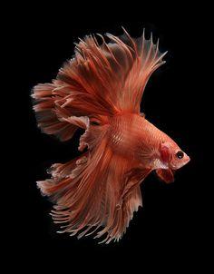 betta fish, Siamese fighting fish on black background Pretty Fish, Beautiful Fish, Colorful Fish, Tropical Fish, Freshwater Aquarium, Aquarium Fish, Fish Aquariums, Poisson Combatant, Beautiful Creatures