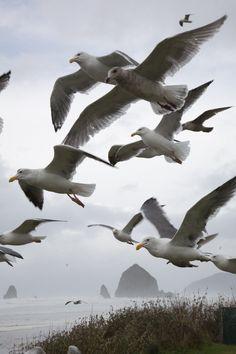 Flock of Seagulls, Cannon Beach, Oregon Coast.