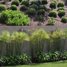 Papyrus plants in front