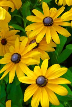 I love sunflowers and daisies :-) So black eyed susans fit the bill perfectly :-)