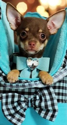 Effective Potty Training Chihuahua Consistency Is Key Ideas. Brilliant Potty Training Chihuahua Consistency Is Key Ideas. Teacup Chihuahua For Sale, Chihuahua Love, Teacup Pomeranian, Cute Puppies, Cute Dogs, Corgi Puppies, Little Dogs, I Love Dogs, Small Dogs