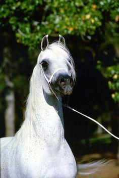 Asfour (Malik x Hanan) The Arabian Horse - Drinkers of the Wind
