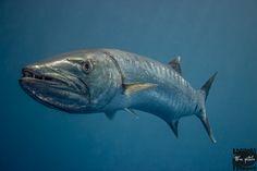Barracuda by tilrac world on 500px