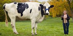 This Is The World's Tallest Cow — tallest cow in the world