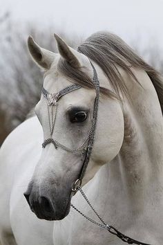 Beautiful Arabian horse face and pretty Bridle.