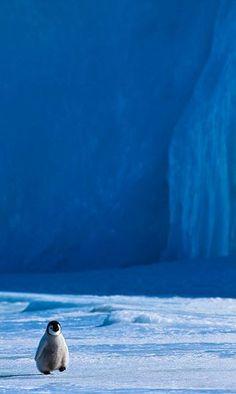 Kleiner Pinguin watschelt durch den Südpol