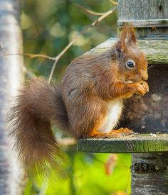 Red squirrels are regular visitors to our lodges' woodland gardens; this wee fella was snapped munching on peanuts!