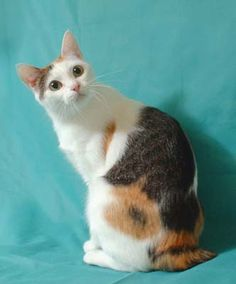 Japanese Bobtail Cat- Me as a Cat Japanese Bobtail, Japanese Cat, Bobtail Japonais, American Bobtail Cat, Manx Cat, Exotic Cats, Cat Aesthetic, Cat Photography, Warrior Cats