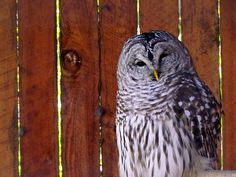 "Barred Owl: ""Who Cooks For You?"" by carliewired, via Flickr"