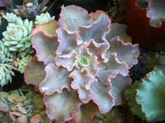 Echeveria gibbiflora, by succulentville80, via Flickr