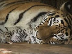 gif tiger | Tumblr
