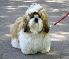 Shih Tzu - the most beautiful and gentle breed. I miss my little boy.
