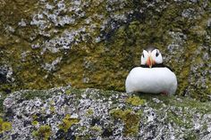 Horned Puffin - Kenai Fjords National Park