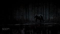 """The bear - Image taken in Kuhmo,Finland.Feel free to check my  <a href=""""http://on.fb.me/1QRPKqq"""">Facebook</a>"""