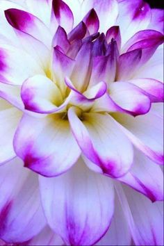 Purple dahlia in Oakville, Washington • photo: Franck Avril on Dan's Dahlias