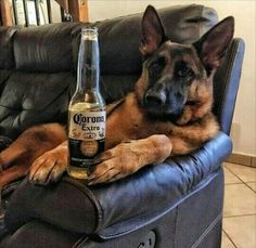 Wicked Training Your German Shepherd Dog Ideas. Mind Blowing Training Your German Shepherd Dog Ideas. German Shepherd Memes, German Shepherd Pictures, German Shepherd Puppies, German Shepherds, Bulldog Breeds, Funny Dog Memes, Working Dogs, Funny Animal Pictures, I Love Dogs