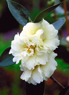 Camellia 'Buttermint'. Location: Front foundation, by portico.