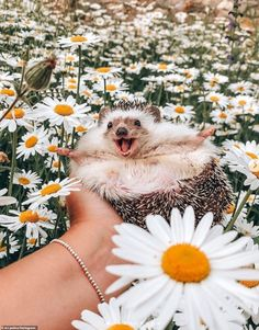 Happy hedgehog in a field of daisies. Baby Animals Pictures, Cute Animal Photos, Funny Animal Pictures, Animals And Pets, Cute Pictures, Baby Animals Super Cute, Cute Little Animals, Cute Funny Animals, Cute Dogs