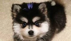 It looks like your mind and body is ready to add Pomsky puppies into your family which is a cross breed between Siberian husky and Pomeranian breed. Pomsky Breeders, Pomeranian Breed, Pomsky Dog, Pomsky Puppies For Sale, Cavachon, Puppy Food, New Puppy, Animal Pictures