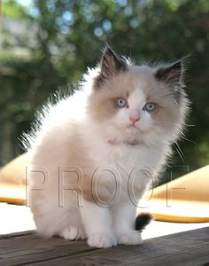 Roxy's Ragdoll Kittens - Roxy's Ragdoll Litters Available and Adopted - What a beauty! The coloring is gorgeous.