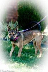 Milly: German Shepherd Dog, Dog; Muldrow, OK, rescued from a homeless camp on AR river. <3 her!