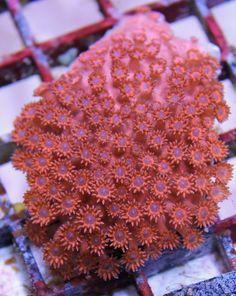 Flower pot coral purple goniopora minor florafauna bright red shark eye goniopora coral mightylinksfo