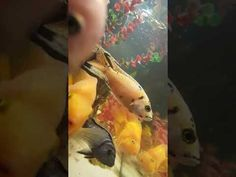YouTube Cichlid Fish, Cichlids, Fish Tank, Underwater, Aquarium, Car, Youtube, Fish Stand, Automobile