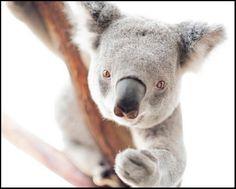 Sid Koala - photography print by nature photographer and wildlife carer Angela Roberston-Buchanan. Australian Animals, Wildlife, Bear, Artist, Nature, Photography, Australia Animals, Naturaleza, Photograph