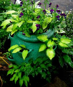 Small hostas can get lost when planted in perennial borders unless they are massed.  Growing special miniature hostas in containers brings them up to eye level.  Here are 16 miniatures in a strawberry pot: