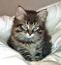 Maine Coon Kitten...one of my favorite cats. http://www.mainecoonguide.com/what-is-the-average-maine-coon-lifespan/