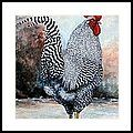 Barred Rock Rooster Framed Print by Amanda Hukill