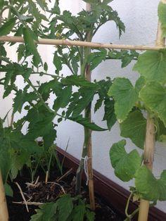 Instruções de Tratamentos: CAPAR e APARAR os TOMATEIROS    Durante o crescimento dos Tomateiros é necessário proceder a algumas medidas p...