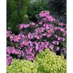 Tuff Stuff Reblooming (Mountain Hydrangea) Live Shrub, Blue, Pink, and Purple Flowers, 4.5 in. Qt.