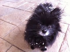 My black pom Lexi looked identical to this! Blue Merle Pomeranian, Pomeranian Puppy, Animals And Pets, Cute Animals, Animal Fun, Beautiful Dogs, Animals Beautiful, Cute Puppies, Cute Dogs