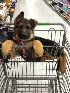 The pet store must be too much fun for this puppy