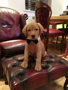 """Exceptional """"labrador puppies"""" information is available on our internet site. Fox Red Labrador Puppy, Labrador Retriever, Labrador Puppies, English Lab, Red Fox, Puppy Love, Cute Dogs, Bear, Labs"""